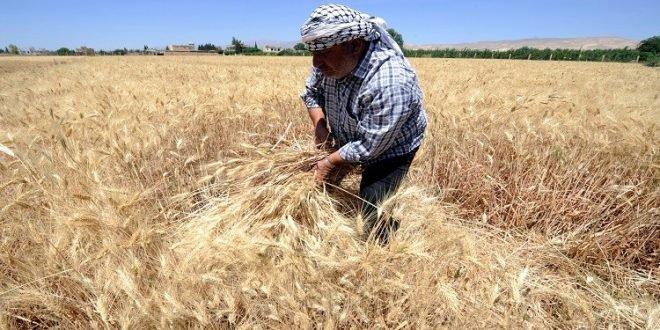 محصول القمح يواجه نقصا جادا